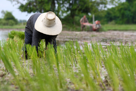 Asian are working with planting rice in field