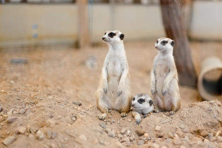 adapted: Meerkat family