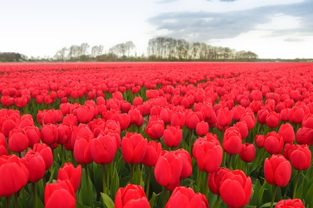 Colorful blooming red tulips in the field, Netherlands