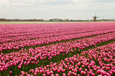 Colorful blooming pink tulips in the field with wind wheel, Netherlands Imagens