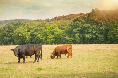 're: Galloway cattle on the re