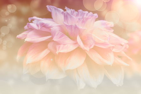 colorize: abstract flower dahlia background,bokeh ,flowers made with color filters in the wonderful sunset light with lense flares Stock Photo