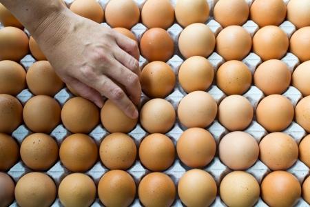 ovarios: Huevos de gallina de color marr�n en los ovarios de papel