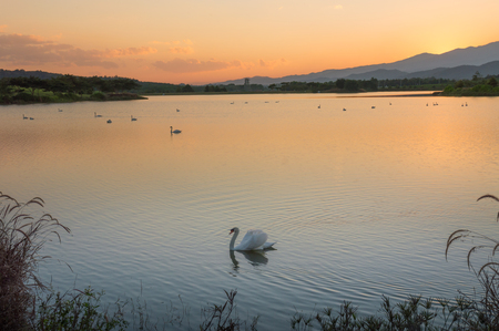 Beautiful Landscape with swimming geese at sunset.