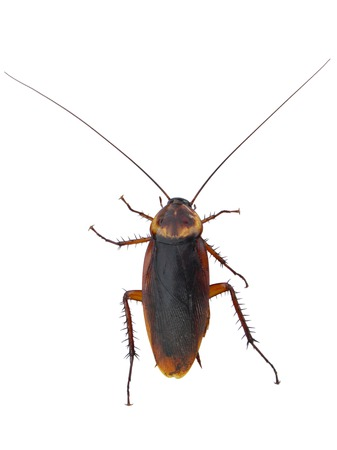 cockroach on a white background , isolated cockroach Stock Photo