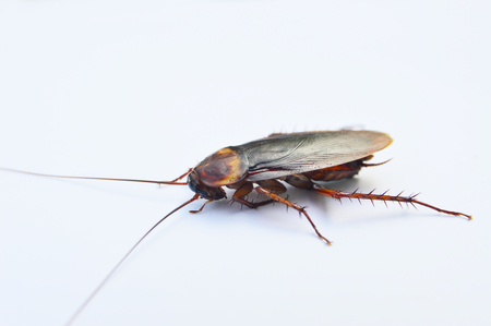 Close up of cockroach on white background, side view,select focus