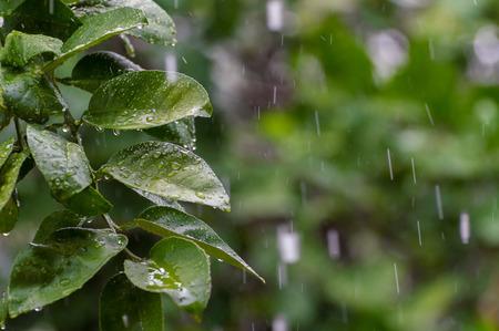 Groene bladeren en waterdruppel in de regendag. selecteer focus.