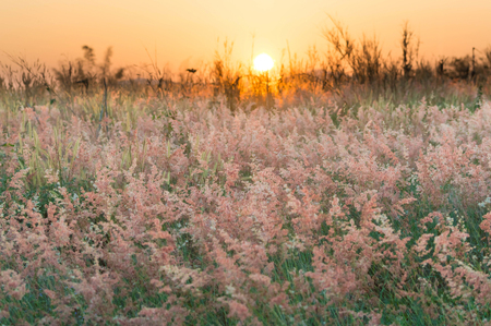 Pink meadow under beautiful sky in evening and sunset