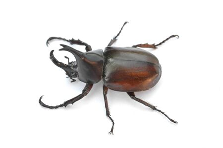 Horn beetle on white background. Archivio Fotografico