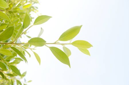 Golden and green leave on white sky background, Branches and leaves protruding from the trunk. Фото со стока