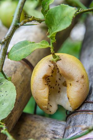 spoilage: rotten Lemon on branch