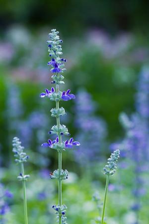 stalk flowers: Purple lavender in the garden