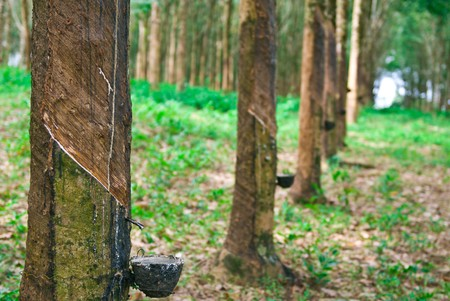 Rubber tree in south of thailand Stock Photo - 7773918