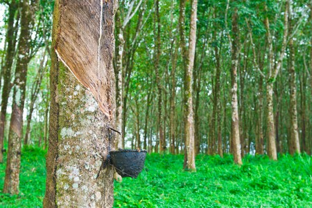 tree plantation: Rubber tree in south of thailand