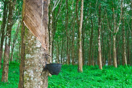 Rubber tree in south of thailand photo