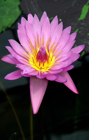 Lotus Flower Stock Photo - 8339753