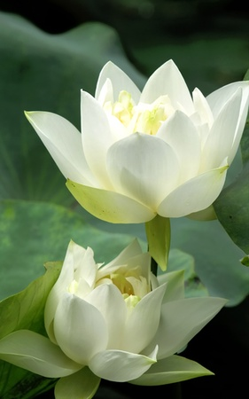 flowers horizontal: Lotus Flower Stock Photo