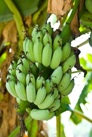 herbaceous  plant: Banana bunch on tree in the garden at Thailand
