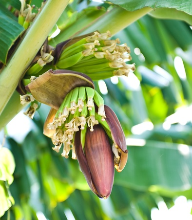 Banana blossom and bunch on tree in the garden at Thailand photo