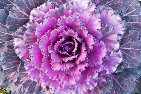 red decorative cabbage in garden photo