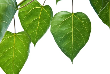 Bodhi or Peepal Leaf from the Bodhi tree, Sacred Tree for Hindus and Buddhist photo