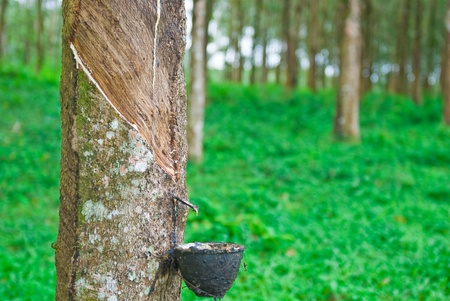 Rubber tree in south of thailand Stock Photo - 8876541