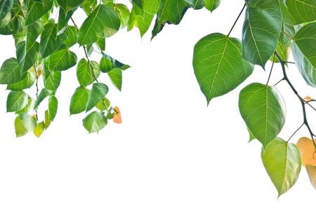 Bodhi o logro hoja en el árbol de Bodhi, árbol sagrado para los hindúes y budistas Foto de archivo - 8876503