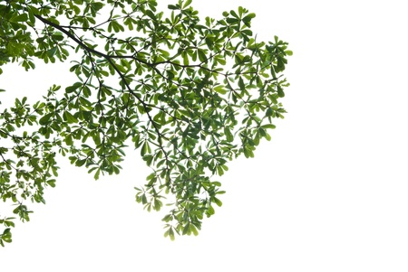 Green leave isolated on white background Stock Photo - 8876516
