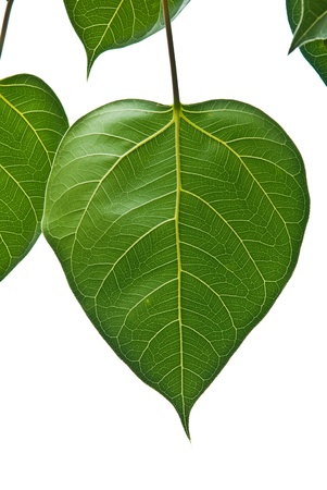 Bodhi or Peepal Leaf from the Bodhi tree, Sacred Tree for Hindus and Buddhist Stock Photo - 9302727