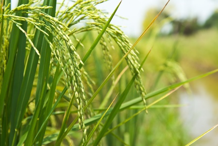 rice crop: rice plant in rice field Stock Photo