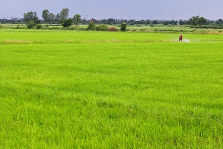 Rice farmers on rice field in Thailand photo