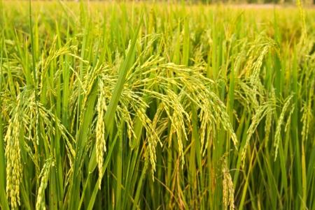 arroz: planta de arroz en el campo de arroz Foto de archivo