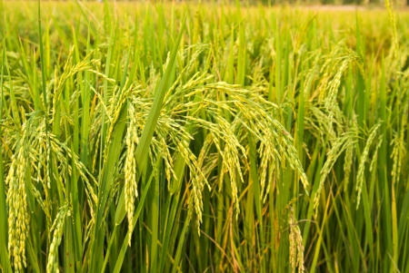 rice plant in rice field photo