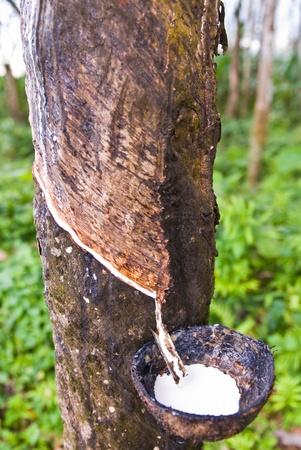 Gummibaum in südlich von thailand