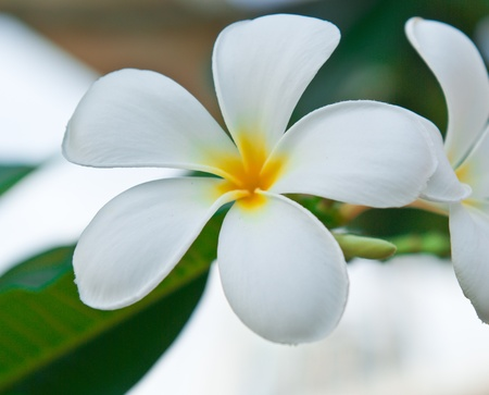 Leelawadee flower, beautiful white flower in thailand Stock Photo - 9508230