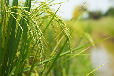 grain fields: rice plant in rice field Stock Photo