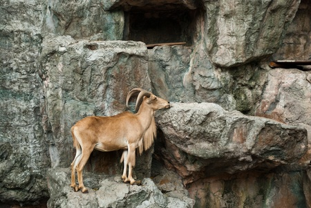 brown mountain goat on stone background Stock Photo - 9608746