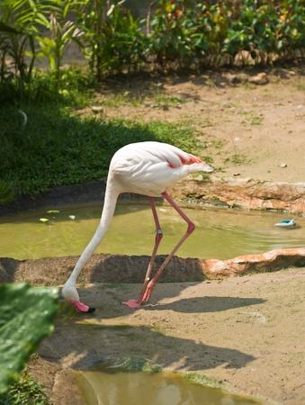 Beautiful Flamingo in the zoo Stock Photo - 9646798