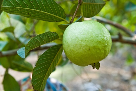 guava: guava on tree in garden Stock Photo