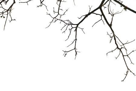 hojas secas: ramas de los �rboles aisladas sobre fondo blanco
