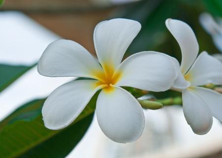Leelawadee flower, beautiful white flower in thailand photo
