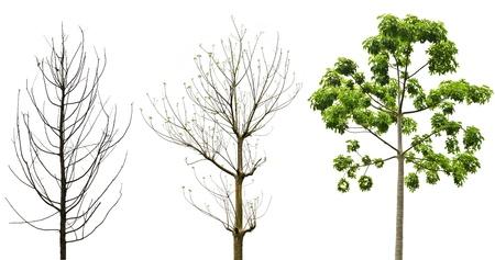 Fresh green tree isolated on white background photo