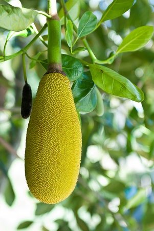 fresh Jackfruit growing on a tree, thailand photo