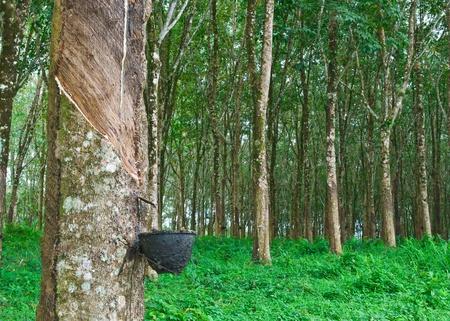 タイ南部でゴム製木 写真素材