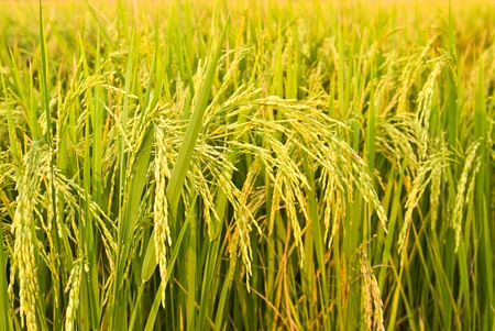 field of thai: rice plant in rice field Stock Photo