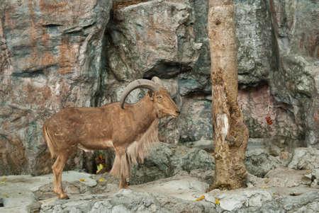 brown mountain goat on stone background Stock Photo - 12684835