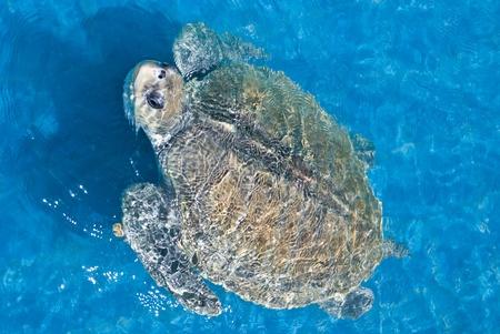 green sea turtle swimming in ocean sea photo