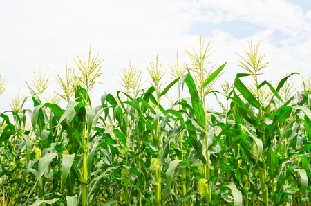 A green field of corn growing up at Thailand Stock Photo - 13940610