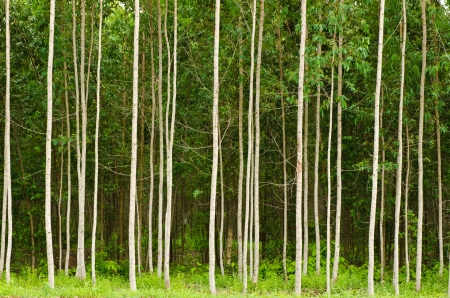 Eucalyptus forest in Thailand, plats for paper industry photo