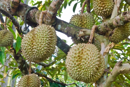 Fresh durians, the king of fruit on the tree at Thailand Archivio Fotografico